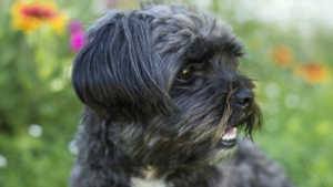 Affenpinscher – Care and Grooming