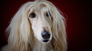 Afghan Hound – Care and Grooming