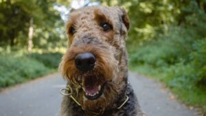 Airedale Terrier – Care and Grooming